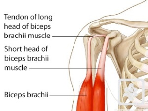 bicipital tendon